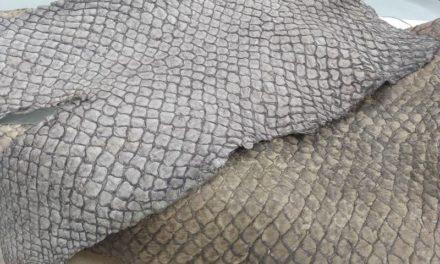 Piscicultores de Bragança vão replicar tecnologia pioneira de pirarucu