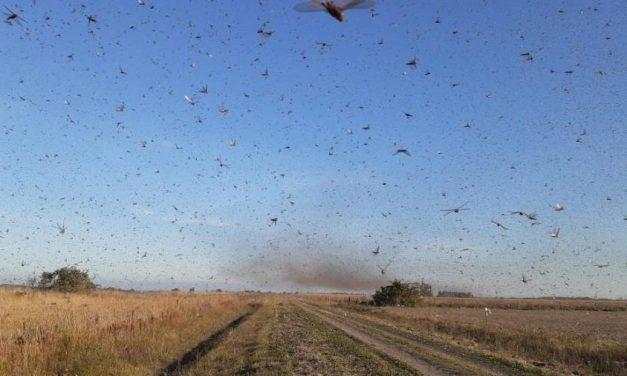 Argentina põe alerta de perigo na fronteira com RS por nuvem de gafanhotos