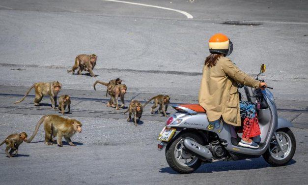 Macacos invadem cidade na Tailândia e moradores ficam enclausurados