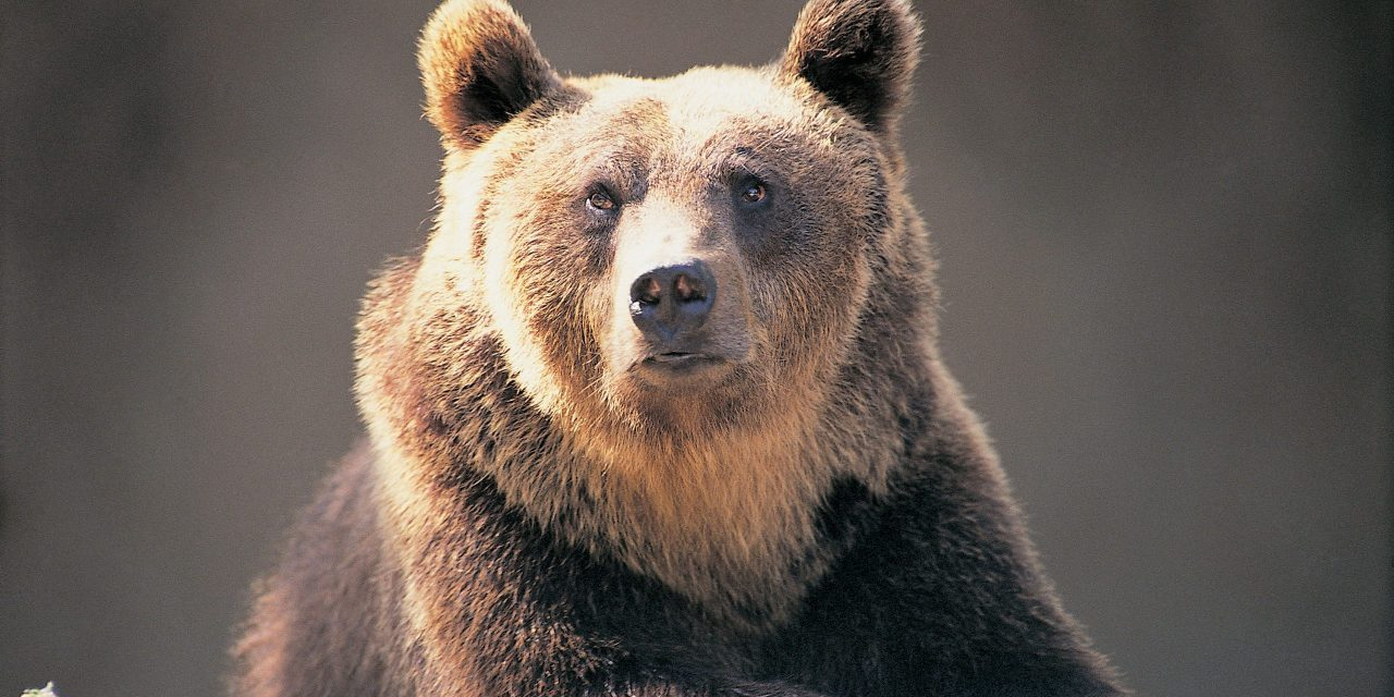 Governador manda matar urso que atacou 2 homens na Itália; ONGs protestam
