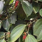 Adepará implementa ações para o fortalecimento da cultura da pimenta-do-reino
