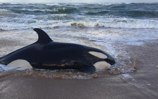 Orca que encalhou em praia do litoral norte da Bahia é sacrificada: 'Difícil decisão', diz entidade