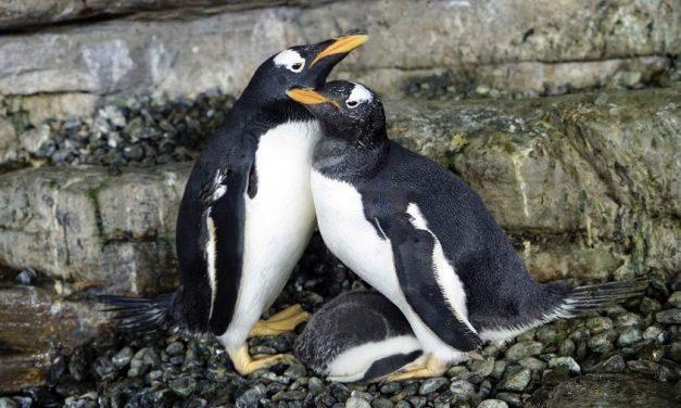 Pinguins do mesmo sexo chocam ovo adotado e conseguem filhote, na Espanha