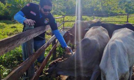 Vacinação contra febre aftosa e brucelose, no modo agulha oficial, é realizada no Marajó