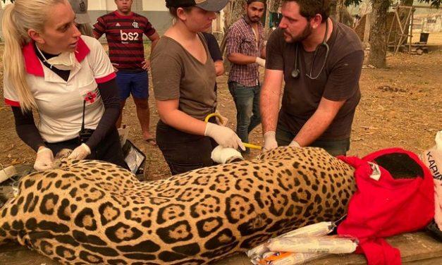 Voluntários lutam para salvar animais feridos no Pantanal; veja detalhes