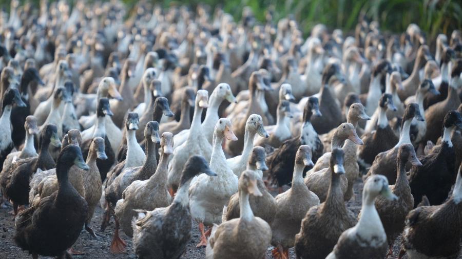 Dez mil patos são usados no combate às pragas nos arrozais na Tailândia