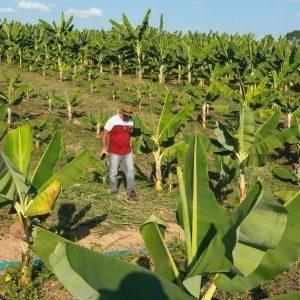 'Pará Produtivo' incentiva o cultivo de banana em seis municípios