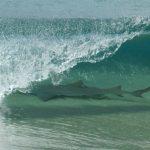 Tubarão é fotografado em onda de praia em Fernando de Noronha