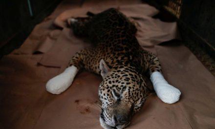 Onça que se feriu em incêndio e foi tratada com ozônio é levada de Goiás de volta à natureza, diz Nex
