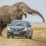 Safári tem fuga desesperada: SUV acelera para escapar de elefanta no Quênia