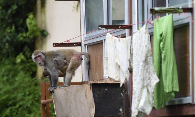 Milhares de macacos aterrorizam cidade turística na Índia