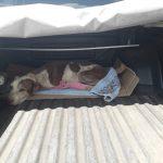 Mulher é presa por maus-tratos a cão da raça pitbull em Barcarena, nordeste do PA