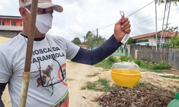 Adepará monitora e Pará ganha mais uma cidade livre da mosca da carambola