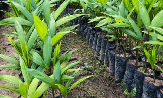 Emater e Inhangapi preparam 100 mil mudas de açaí, cacau e essências florestais
