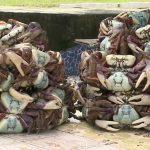 Caça e comercialização de caranguejos estão proibidas no Pará