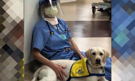 Labradora conforta profissionais da saúde na linha de frente do Covid-19
