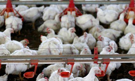Indústria de frango no Brasil vê corte na produção por efeito do coronavírus