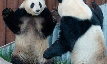 Panda escapa do recinto em zoológico na Dinamarca