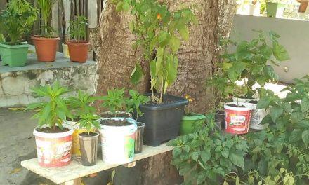 Hortas domésticas em Portel combatem estresse, melhoram economia e alimentação familiar