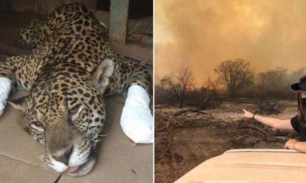 Campanha reúne veterinários e voluntários para salvar animais do fogo no Pantanal