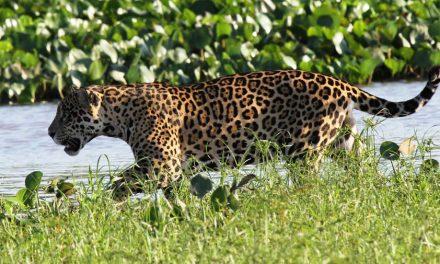 85% de parque no Pantanal de MT que abriga maior refúgio de onças-pintadas no mundo foi destruído por incêndios