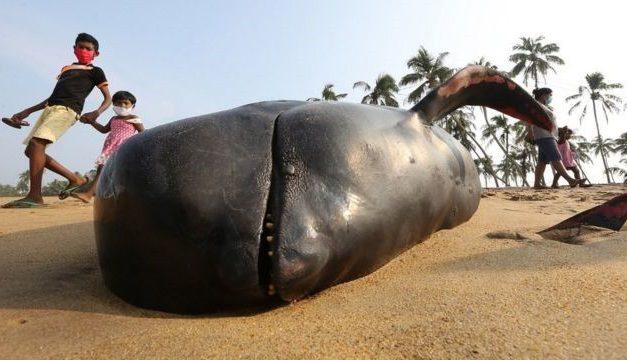 Mais de 100 baleias encalhadas em praia no Sri Lanka são salvas em operação