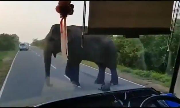 Vídeo de elefante parando ônibus e ganhando bananas de homem viraliza; veja