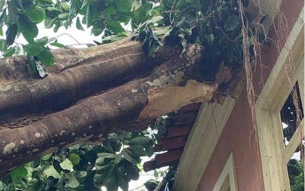Árvore de 42 metros cai em prédio histórico no Museu Emilio Goeldi