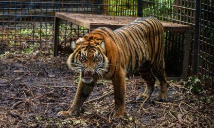 Tigres matam cuidador, fogem de zoológico e causam medo em cidade da Indonésia