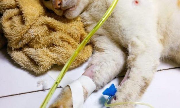 APAT: gato é resgatado após ser abandonado com patas quebradas em Tailândia
