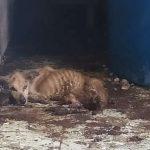 Cachorros são resgatados em situação degradante após ficarem trancados há mais de um ano no Pará