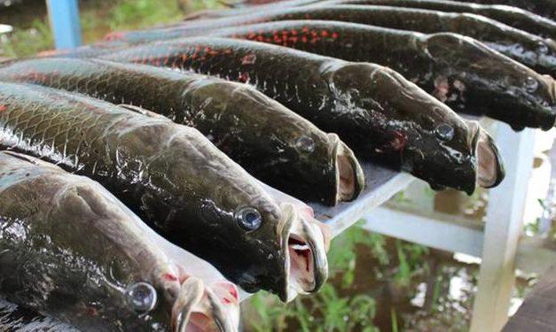 Projeto pode tornar o Brasil no maior produtor de peixes de cultivo no mundo