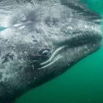 Baleia cinzenta e redução das infecções por Covid-19 reavivam o turismo náutico mexicano