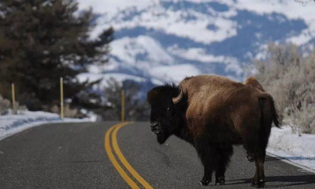 Em dois dias, 45 mil se inscrevem para matar bisões nos EUA