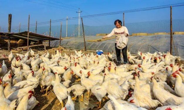 China tem primeiro caso no mundo de gripe aviária H10N3 em humanos