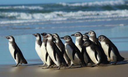 Brasil começa a temporada de visitas dos pinguins das Ilhas Malvinas