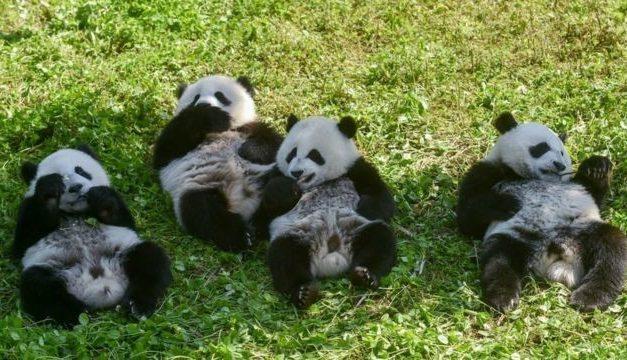 Como os pandas gigantes escaparam da lista de animais ameaçados de extinção