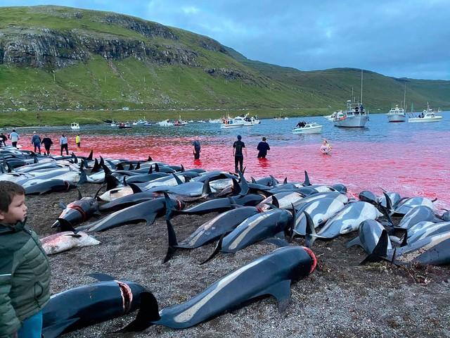 A revolta após matança de 1.400 golfinhos em um dia na Europa