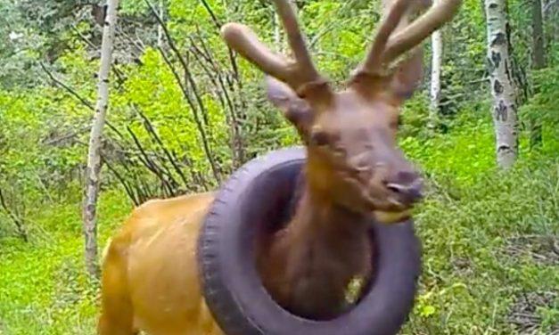 Veado que passou dois anos preso a um pneu é resgatado nos EUA