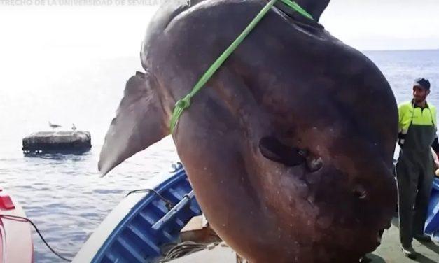 Gigante! Peixe-lua de 2t é achado por pescadores de atum – e volta ao mar