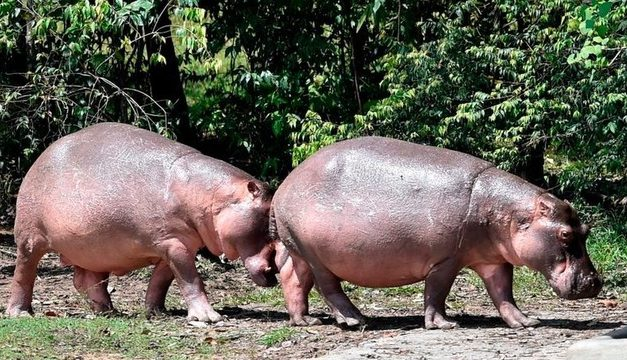 Colômbia esteriliza hipopótamos de Pablo Escobar para frear reprodução descontrolada
